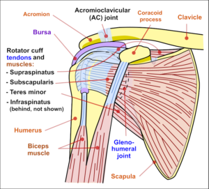 rotator cuff muscles and tendons