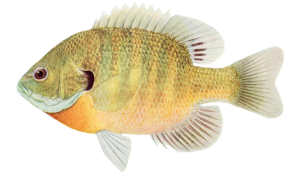 bluegill fish illustration