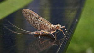 adult mayfly near water