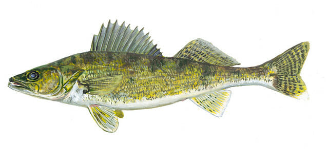 walleye illustration