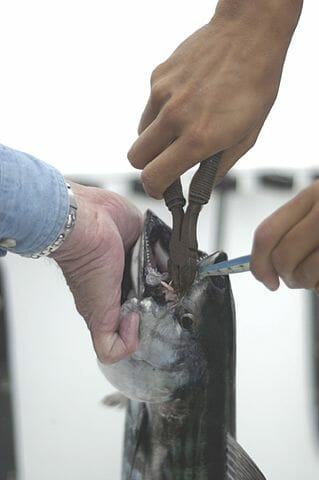 anglers removing hook from tuna with fishing pliers