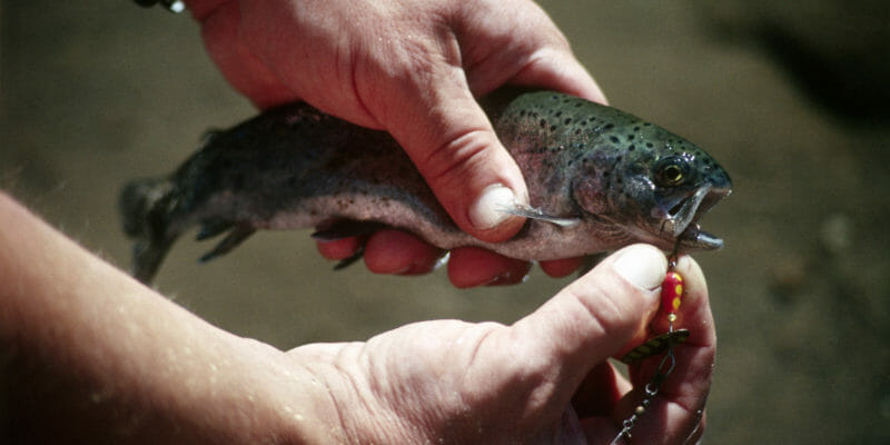 angler holding small trout with treble hook in its lip