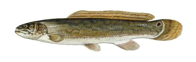 bowfin fish profile illustration
