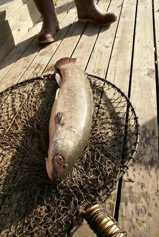 bowfin fish on dock in fishing net
