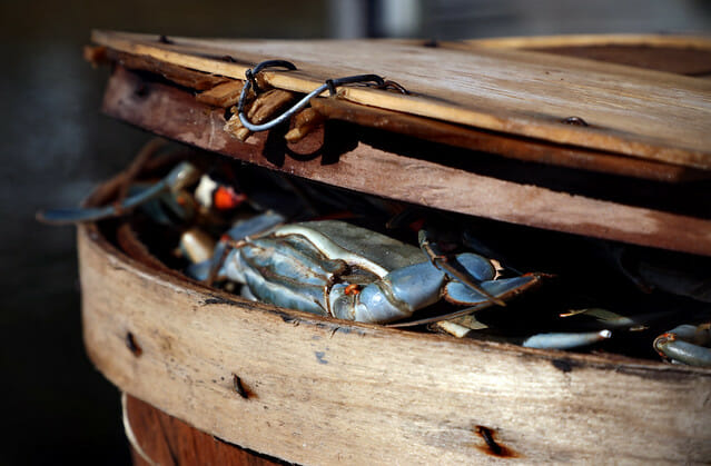 bushel overflowing with Chesapeake blue crabs