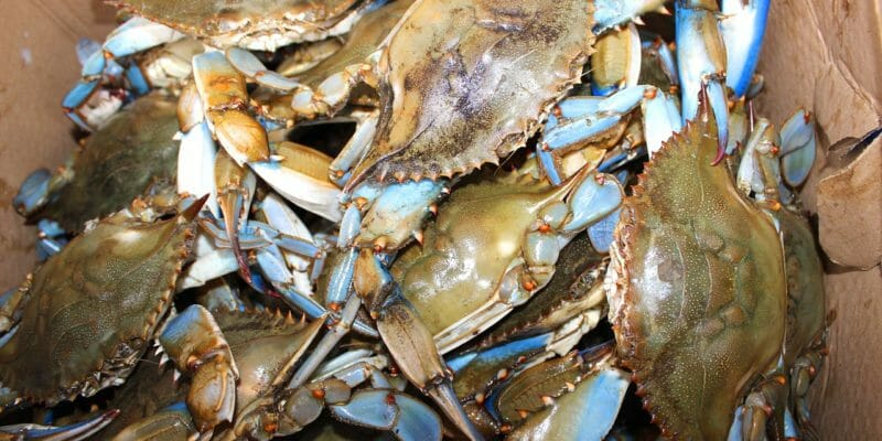 maryland blue crabs bushel