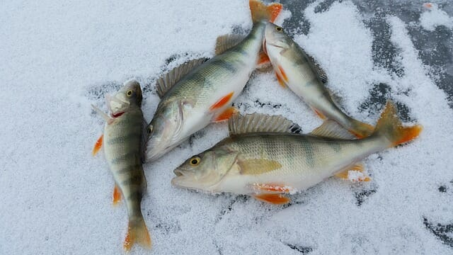ice fishing yellow perch haul