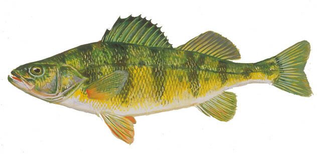 yellow perch drawing