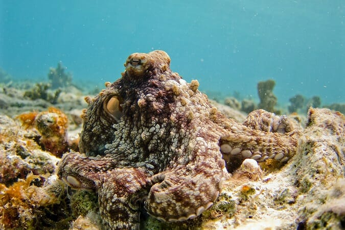octopus in full camouflage
