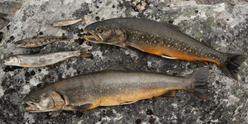arctic char fishing